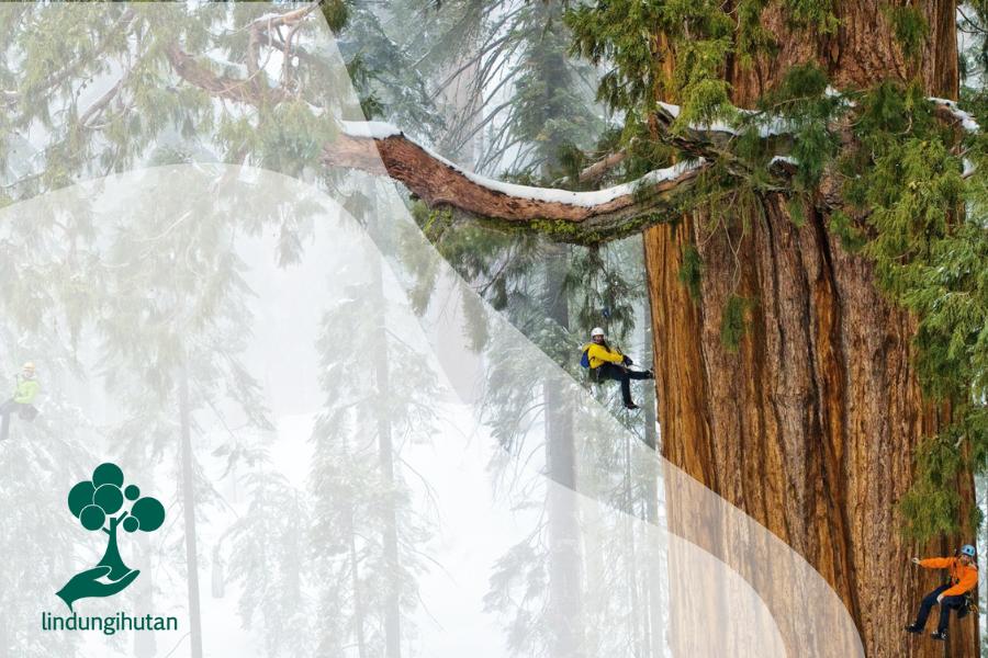 Giant Sequoia Si Raksasa Hutan
