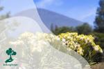 Edelweis: Bunga Abadi yang Tak Boleh Dipetik