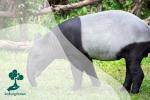 Tapir, Hewan Unik yang Dapat Menyamar Jadi Batu