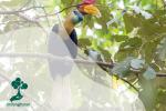 Julang Sulawesi, Petani Hutan yang Sering Diburu