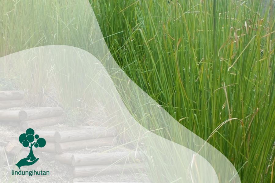 Mengenal Tanaman Akar Wangi, Rumput dengan Manfaat Berlimpah