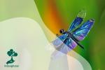 Capung, Serangga yang Berperan sebagai Indikator Lingkungan