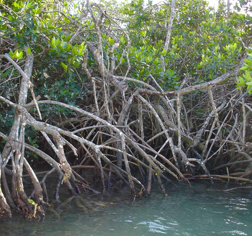 Gambar 1. Mangrove sebagai Blue Carbon