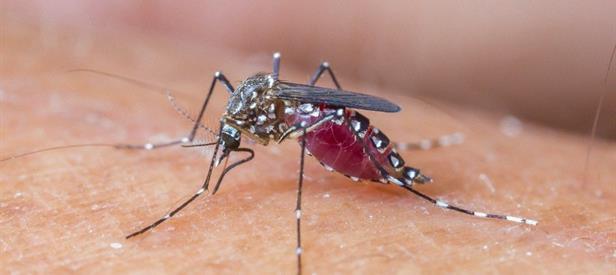 Gambar 3. Nyamuk Penyebab Penyakit Malaria