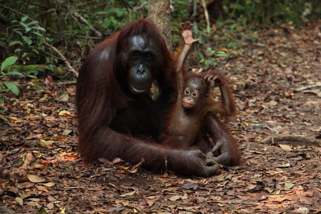 [1] Orangutan dan bayinya (Photo credit: @ffrige)