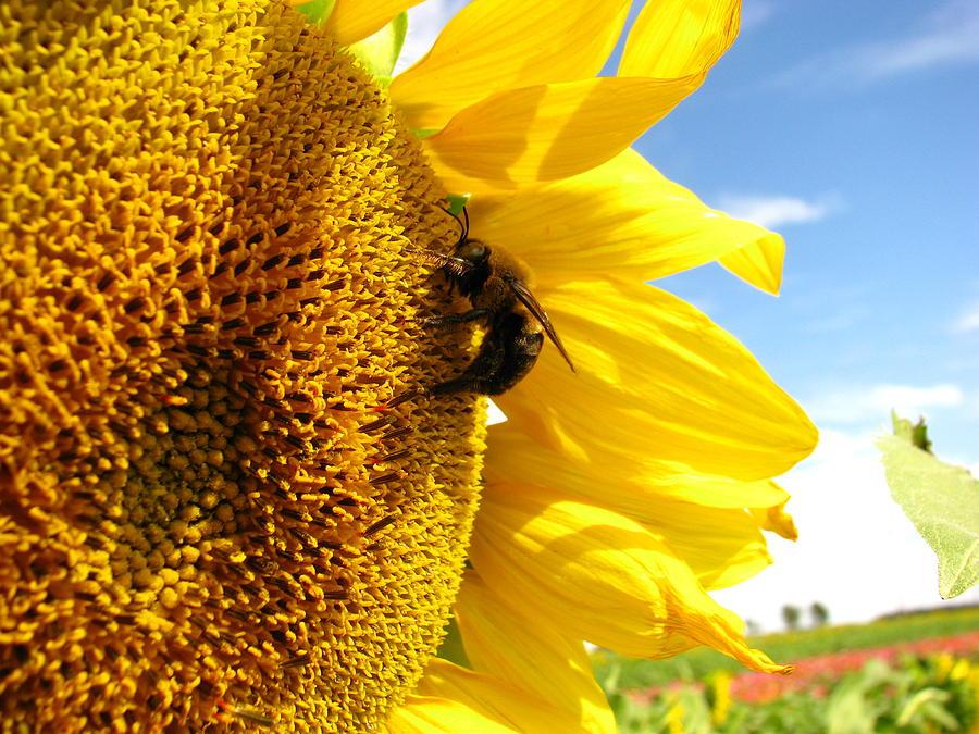 Gambar 5. Penyerbukan oleh Lebah