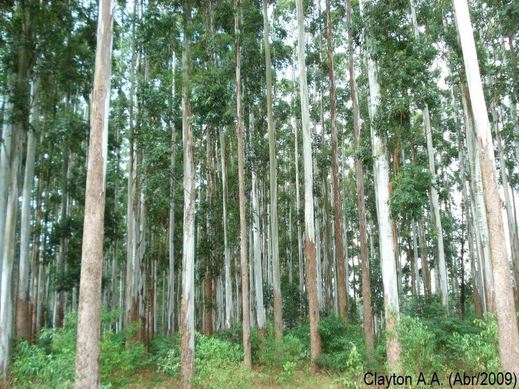 Gambar 5. Pohon Ampupu