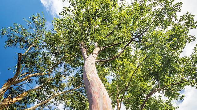 Gambar 9. Pohon Eukaliptus