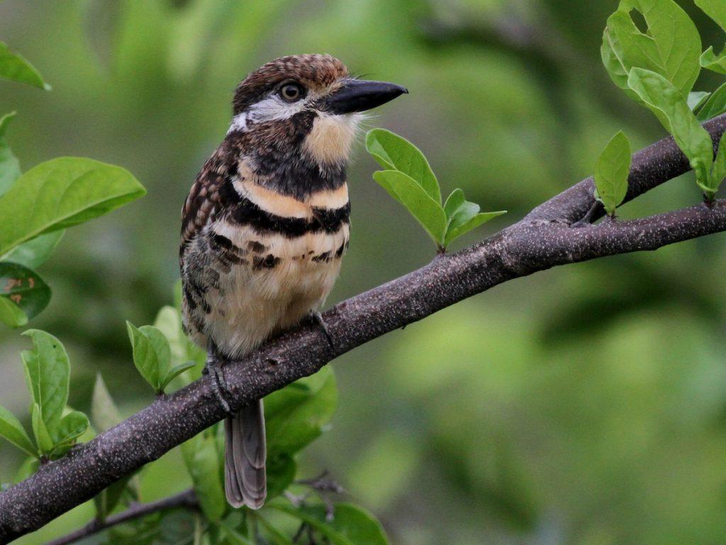 Puffbird - ©Ebird.org