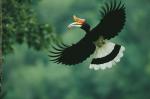 Burung Rangkong, si Penjaga Hutan yang Marak diburu