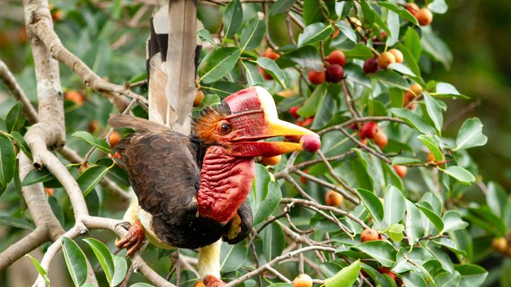 Gambar 2 Rangkong Gading sedang memakan buah
