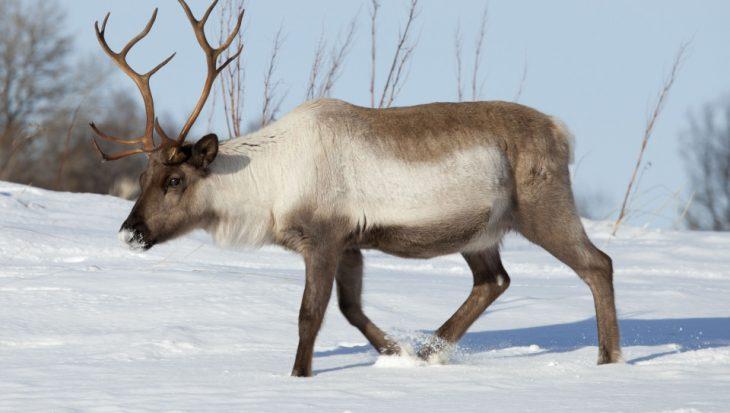 Reindeer - © Animalaid.org.uk
