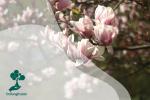 Magnolia: Tanaman Purba Sebelum Ada Lebah