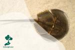 Belangkas: Kepiting Tapal Kuda yang Masih Sintas di Bumi