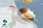 Grebe Australasia, Burung Titihan Australia Yang Mirip Bebek