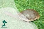 Kura-kura Leher Ular, Satwa Asli Indonesia yang Sudah Punah di Habitatnya
