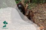 Mengenal 'Sekolah Hutan' bagi Orangutan