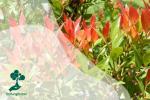 Sekilas Pandang Tanaman Penyerap Karbon: Pucuk Merah