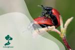 Mari Mengenal Kumbang, Hewan Dengan Ribuan Spesies Di Dunia