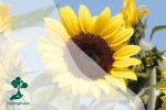 Bunga Matahari, Bunga Penghasil Kuaci
