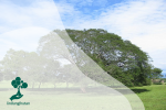 Mengenal Earpod Tree (Sengon Buton): Pohon Mirip Telinga Manusia
