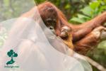 Persamaan Orangutan dan Manusia Mencapai 97%