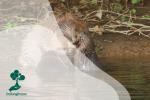 Beaver dan Otter, Mamalia Beda Kerabat yang Sering Disalahkaprahkan