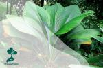 Daun Payung: Tumbuhan dengan Daun Raksasa