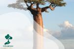 Pohon Baobab : Si Raksasa yang Berumur Panjang