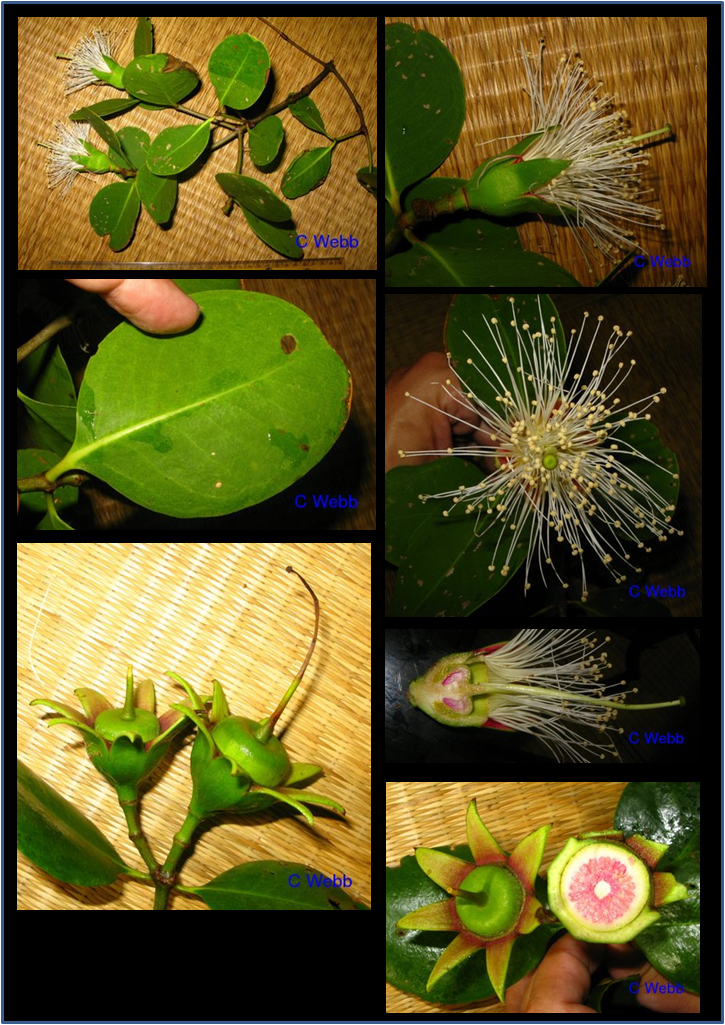 Sonneratia alba © asianplant.net