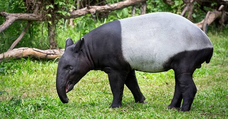 Gambar 1. Tapir Asia
