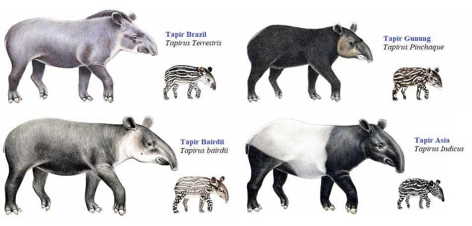 Gambar 2. Jenis-jenis tapir