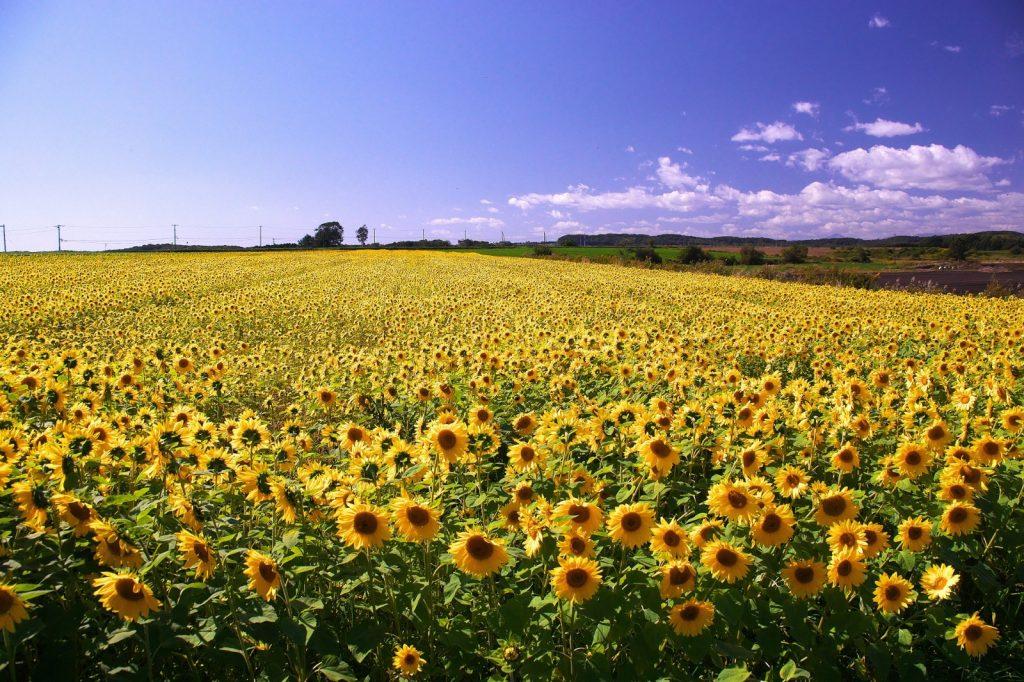 Gambar 4. Taman Bunga Matahari di Hokkaido, Jepang