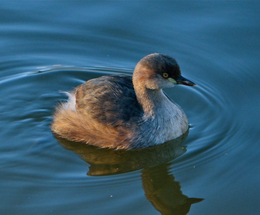 Gambar 2. Tubuh Burung Titihan Australia