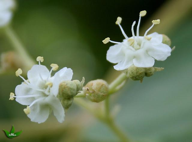 Gambar 4. Bunga Jati
