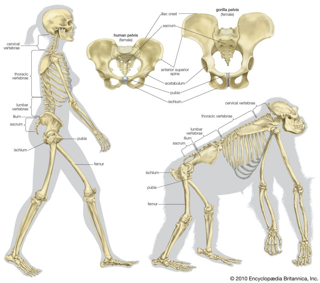 Tulang Panggul Manusia vs. Primata ©️2010 Encyclopædia Britannica, Inc.