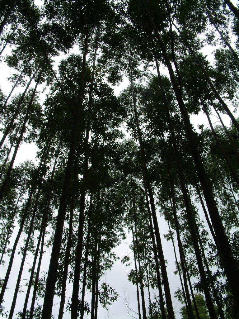 Gambar 1. Eucalyptus urophylla © flickr.com