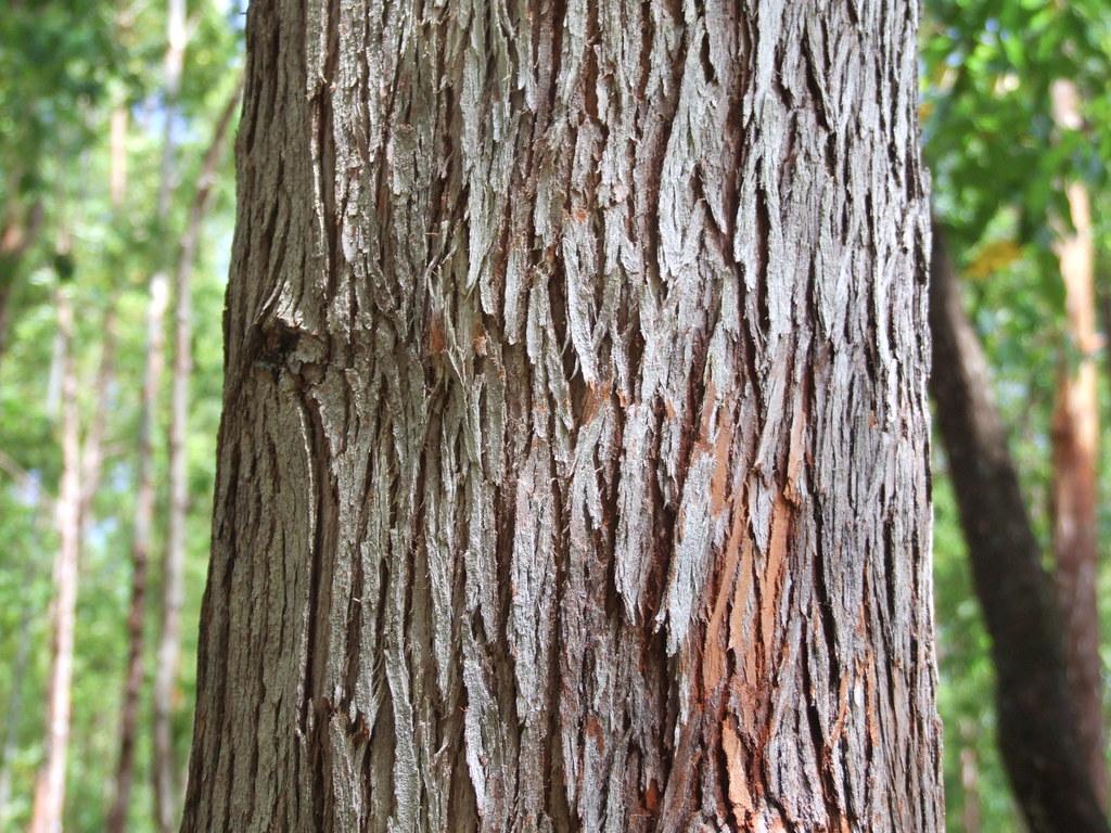 Gambar 3. Eucalyptus urophylla bark © flickr.com
