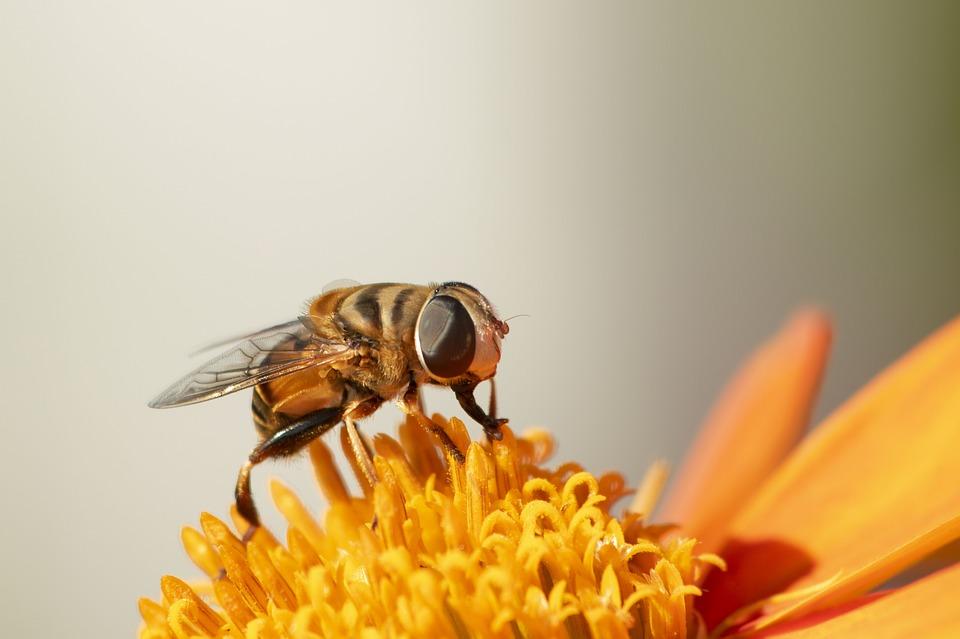 hewan penyerbuk Lalat Bunga