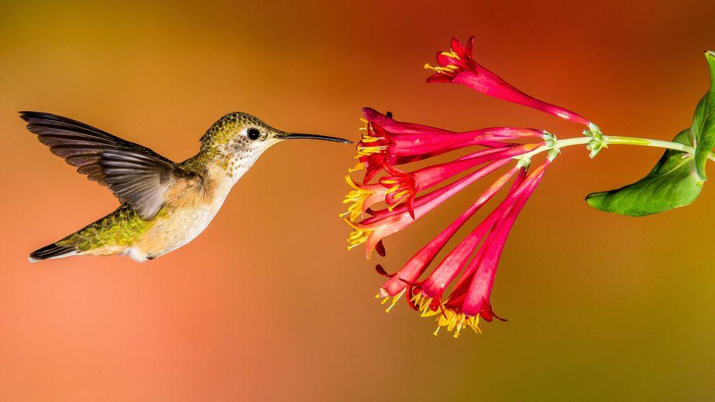 hewan penyerbuk: Burung Kolibri