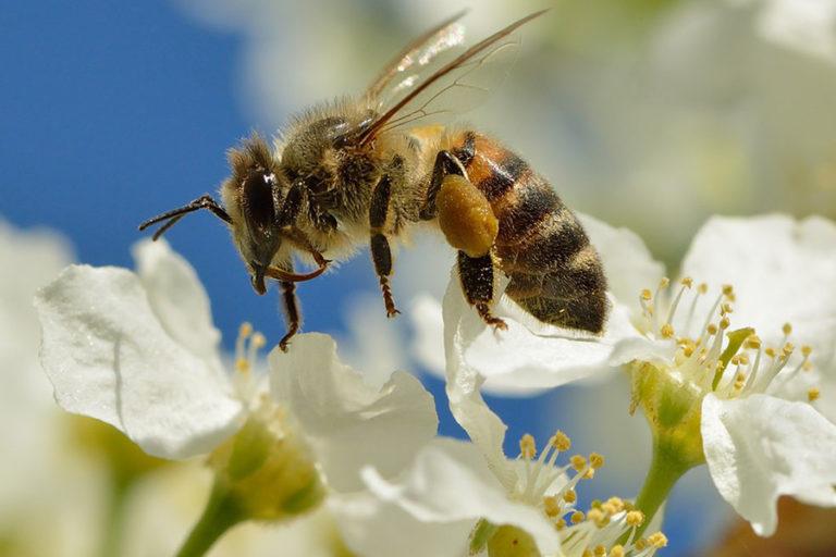hewan penyerbuk lebah