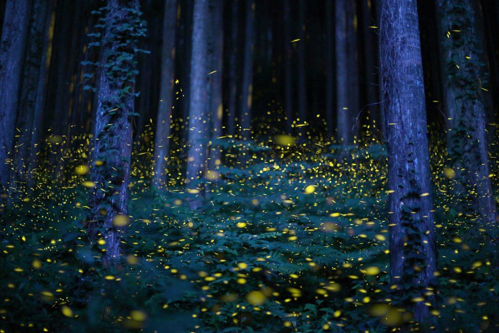 Kunang-kunang © Theatlantic.com
