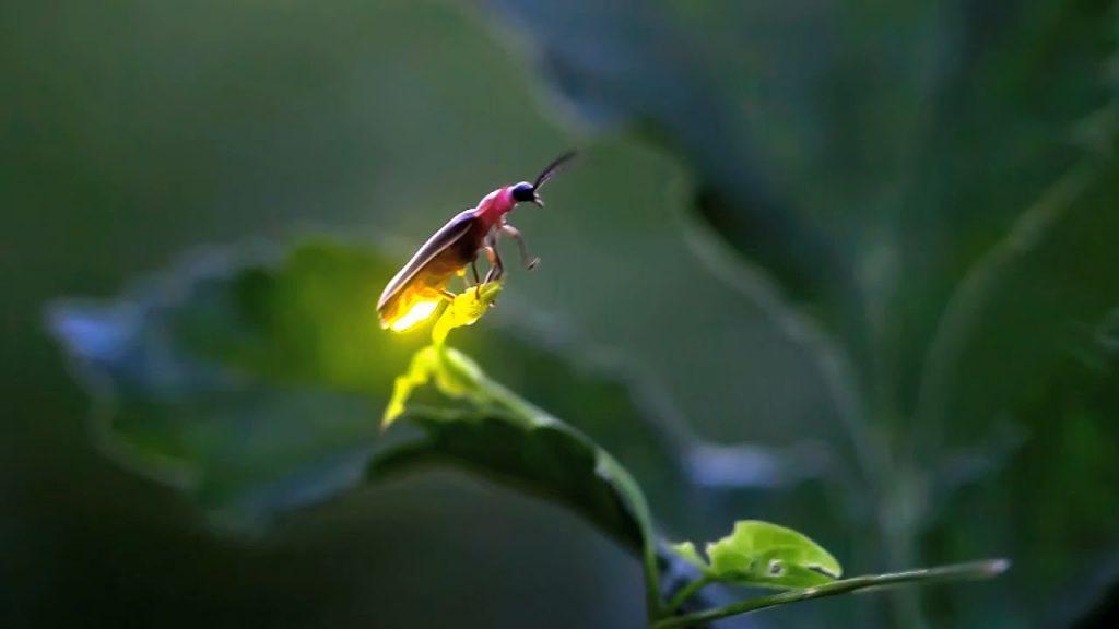 Kunang-kunang © Nathab.com