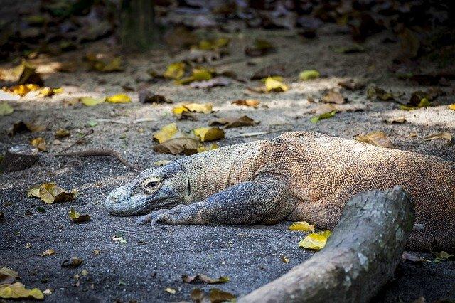 Komodo - ©Pixabay.com