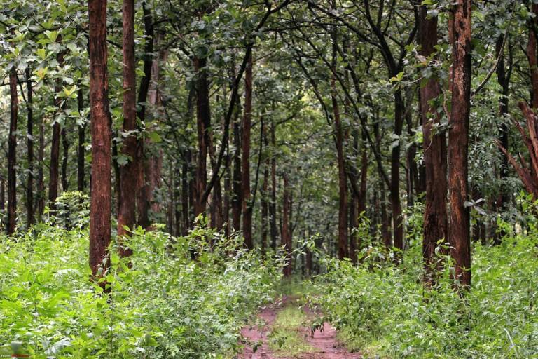 Gambar 1. Pohon Jati