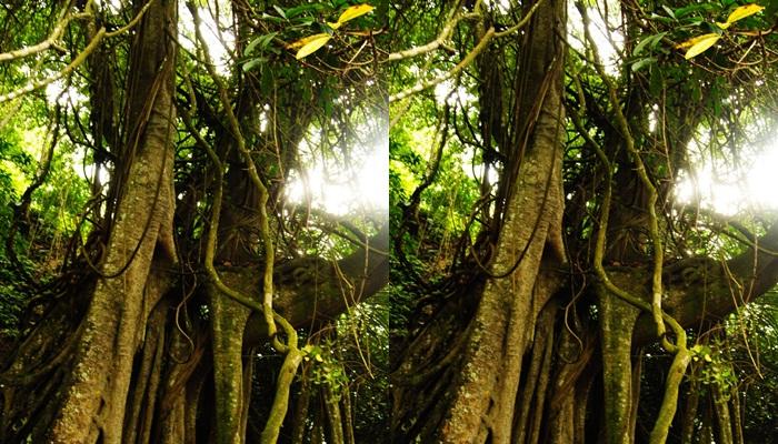 Pohon Taru Menyan /baligay.net