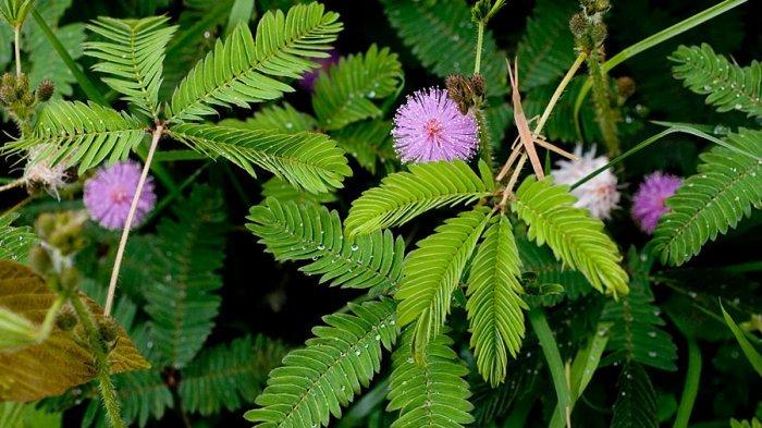 Tumbuhan Putri Malu Berbunga Ungu © Tribun News