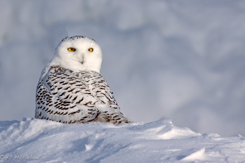 Snowy owl - © Vtecostudies.org