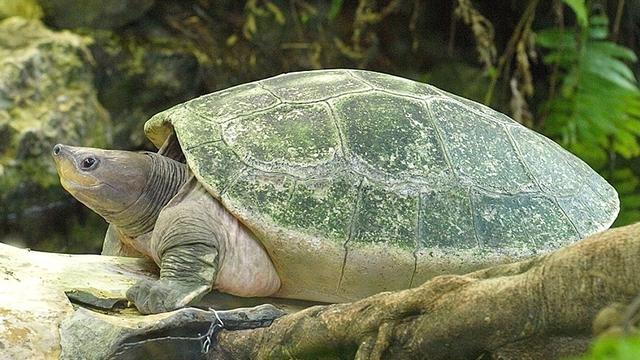 Tuntong Laut ⓒ greeners.co