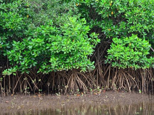Akar Tunjang Rhizophora © mangrovemagz.com
